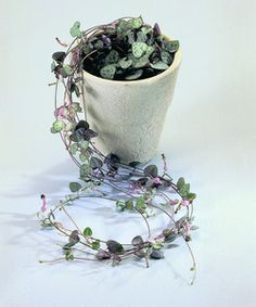 Entangled Hearts Vine - Captivating decorative succulent - Charming pink and purple tones - Ideal gift for your Girlfriend, Wife or Mum - Delightful present for any occasion - Trailing stems with patterned leaves - Hearts on a string - Rosary Vine - Ceropegia Woodii.