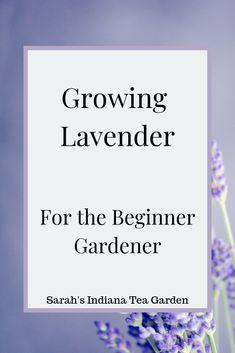 Growing Lavender: For the Beginner Gardener - Sarah's Indiana Tea Garden Lavendel anzubauen ist imme Growing Lavender Indoors, Growing Herbs, Planting Lavender Outdoors, Gardening For Beginners, Gardening Tips, Flower Gardening, Indiana, Landscaping With Rocks, Backyard Landscaping