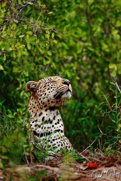 """""""The photography is still a bit slow this side, but here is one that seems to have had a nice response on the blog of Machaton male sniffing the air as he rests on the banks of the Sohebele Riverbed….always nice to see and get a chance to photograph this shy leopard :)"""" - By Chad Cocking"""