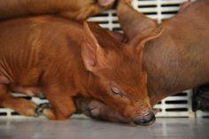 Piglets in Big Tex's Barnyard - State Fair of Texas 2011