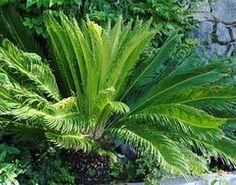 recette de jardin 1 palmier chanvre le palmier de chine ou encore palmier chanvre ou. Black Bedroom Furniture Sets. Home Design Ideas