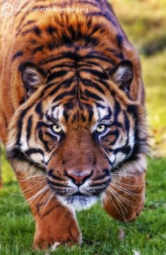 ~~Intensity ~ male Sumatran tiger by bigcatphotos UK~~