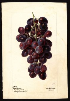"""Artist: Passmore, Deborah Griscom, 1840-1911 Scientific name: Vitis Common name: grapes Variety: Black Ferrara """"U.S. Department of Agriculture Pomological Watercolor Collection. Rare and Special Collections, National Agricultural Library, Beltsville, MD 20705"""""""