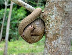 How a Pangolin sleeps