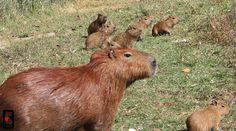 mom and baby capybaras