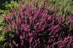 Pruning lavender is important in keeping a lavender plant producing the type of fragrant foliage that most gardeners grow the plant for. If you are wondering how and when to prune lavender, this article can help.