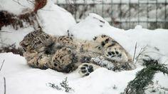 Los leopardos de las nieves y sus colas maravillosas