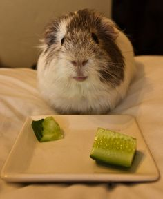 Guinea Pig.  Swear to God I think it is smiling.  Too cute.