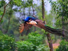 Peacock Flying - Slide show.. YouTube