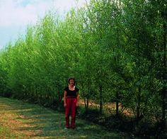 Stark® Hybrid Willow  A unique cross that grows quickly, yet maintains structural integrity. This upright willow grows up to 12' per year until it reaches its mature height of 30-40'. Dense foliage provides shade in summer and a windbreak in winter. The low-maintenance tree also helps prevent soil erosion. Cold-hardy. Shipped 3 feet and up.