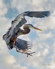 Great blue heron is a favorite too. Saw one at Fitzgerald Marine Reserve late last year. Heron Tattoo, Bird Wings, Blue Heron, Big Bird, Bird Pictures, Colorful Birds, Bird Watching, Bird Art, Beautiful Birds