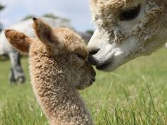Google Image Result for http://www.fowberry-alpacas.com/images/uploads/stud_males/additional/Naomiweb.jpg