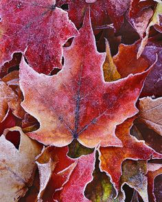 Frosted Maple Leaves, Bend, Oregon