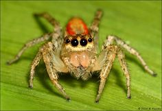 Caption: Colorful Jumping Spider