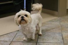 CHARLIE is an adoptable Shih Tzu Dog in Saskatoon, SK. Charlie is a 4 year old cream Shih Tzu mix that arrived at the shelter on April 27, 2013, and is currently available for adoption at the Saskatoon SPCA.