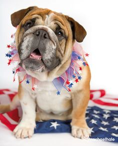 James (British Bulldog) - In his red and blue, James is an American through and through. Pet Photography / 4th of July Photo Session Idea Prop Ideas