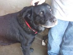 A023089 is an #adoptable Labrador Retriever Dog in #Vallejo, #CA. This fun-loving guy is full of energy and LOVES life! He also enjoys dancing, having fun conversations and going for frelaxing walks! Petfinder.com