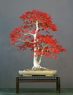 seraphica: Talented German bonsai artist Walter Pall has styled and raised hundreds of trees over the past few decades, including several s...