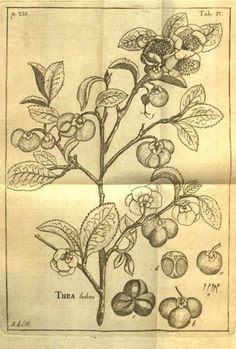 Carl Linneaus drawing of the tea plant.