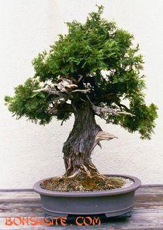 Bonsai from the U.S. National Arboretum, Washington DC