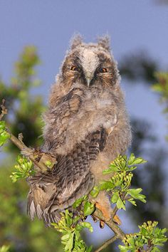 Wild long eared Owl chick   #birds #owls #nature