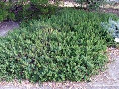 Arctostaphylos edmundsii Carmel Sur Manzanitais a delightful small ground cover for small scale gardens. Carmel Sur prefers part-shade inland and full sun . California Native Landscape, California Garden, Carmel California, Landscaping Plants, Front Yard Landscaping, Backyard Trees, Backyard Plants, Front Yard Plants