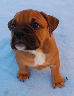 Valley Bulldog (Bull-Boxer) Puppy (English Bulldog/Boxer Hybrid)