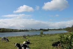 Friesan cows enjoying a rest at Roughan Lough