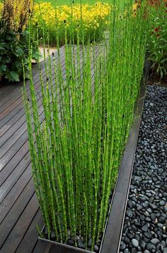 I've seen this done & it works wonderfully ! (DL) ''REMEMBER'' keep them confined ! or they will pop up EVERYWHERE !! - These Horsetails are best confined to a container, their great height can create a wall effect in the garden.