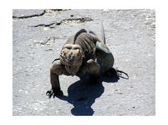 Google Image Result for http://cache.virtualtourist.com/4/3511465-Iguana_Lago_Enriquillo.jpg