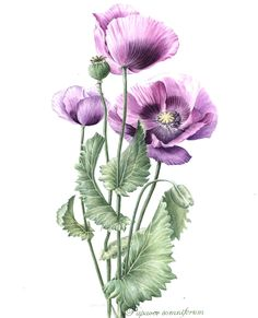 http://www.soc-botanical-artists.org/artist/hazel-rush/