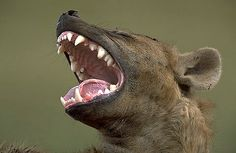 Hyena Laughing | posts tagged hyena yawning aadar jain myspace or is he laughing…