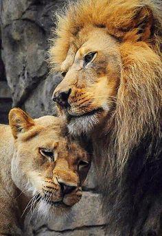 Leão e leoa, awwww