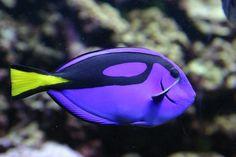 Os 12 peixes mais lindos do oceano. O Cirurgião-patela vive em águas mornas na maior parte do mundo, mas não é visto com frequência devido à sua natureza solitária.