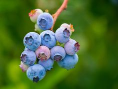 Learn What 4 Berries Can Do For Your Health And Wellness Free Pictures, Free Images, Free Photos, Blueberry Plant, Blueberry Images, Tea Smoothies, Free Fruit, Wild Blueberries, Healthy Fruits