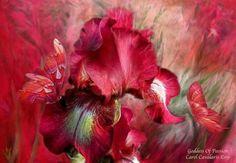 Cardinal red Iris!