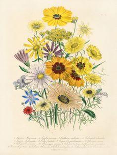 jane loudon botanical prints   Antique Botanical Prints from Jane Webb Loudon