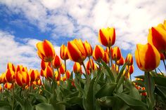 Tulipanes 'made in spain'