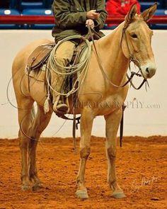 Riding mule