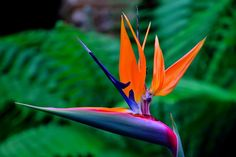 Bird of Paradise Beautiful Flowers Pictures May Flowers, Exotic Flowers, Tropical Flowers, Pretty Flowers, Beautiful Flowers Pictures, Flower Pictures, Paradise Pictures, Birds Of Paradise Flower, Different Types Of Flowers