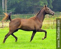 Akhal-teke horses for sale - Akhal-teke foals