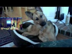 German Shepherd Confused by Talking Husky. Cute & Funny! #funny #dogs #cute #funnydogs