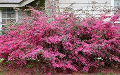 Plum Delight Loropetalum in spring bloom: Deer Resistant, too.