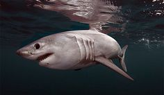 Many sharks and other fish prefer warm water, but porbeagle sharks like to stay cool. They inhabit coastal regions and the open sea.