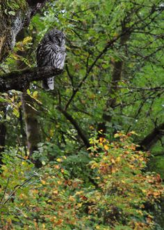 Resting - Barred Owl resting on a perch on a rainy Portland afternoon. Photography