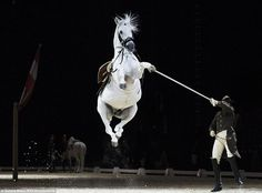 The Lipizzaner horses of the Spanish Riding School of Vienna