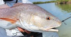 The Secrets To Catching Redfish On The Flats With Cut Bait