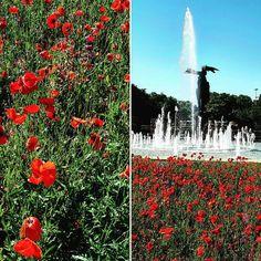 #mygratefulmoment #milano #milan #ilovemilano #milanodavedere #spring #flowers #red #papaveri #papaverirossi #happy #lifeisgood by djbrodzik