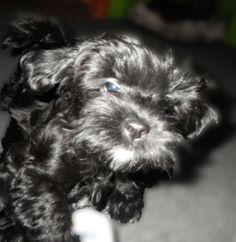 Affenpinscher Puppies For Sale 15 Personal Blog Pinterest