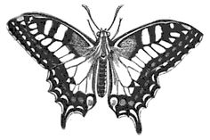 swallowtail butterfly drawing